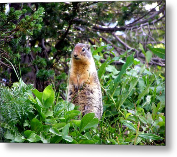 Golden Mantled Ground Squirrel  - Standing Metal Print by Mark Caldwell