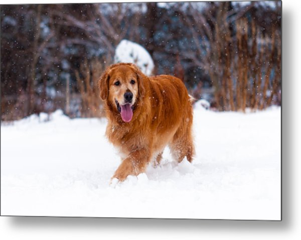 Golden Retriever Metal Print by Matt Dobson