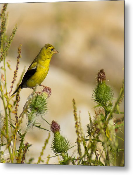 Goldfinch On Lookout Metal Print