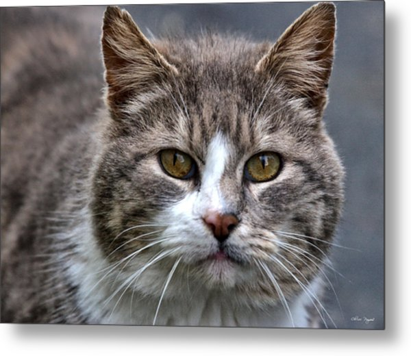 Gray Tabby Tux Cat Metal Print