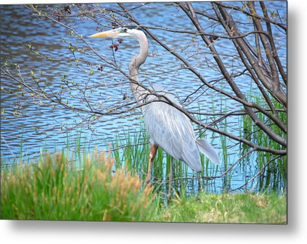 Great Blue Heron At Pond's Edge Metal Print