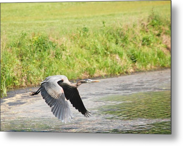 Great Blue Heron Begins Flight Metal Print