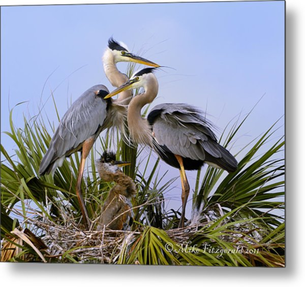 Great Blue Heron Family Metal Print