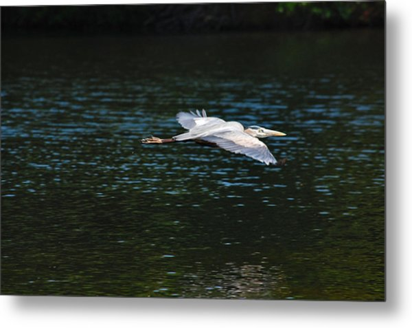 Great Blue Heron Illuminated Metal Print