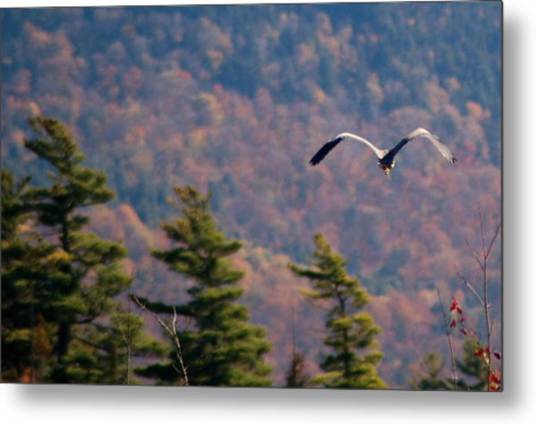Great Blue Heron In Flight Metal Print