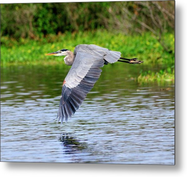 Great Blue Heron Inflight Metal Print