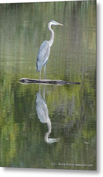 Great Blue Heron On Lake Chipican Metal Print