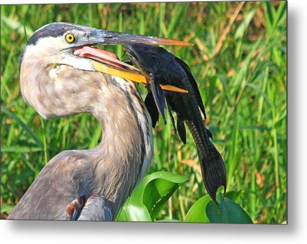 Great Blue Heron With Catfish Metal Print
