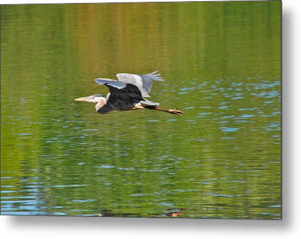 Great Blue Heron With Confidence Metal Print