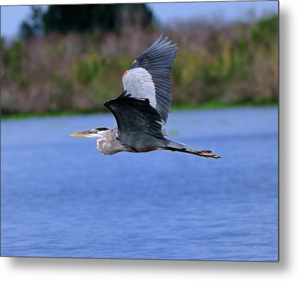 Great Blue Inflight Metal Print