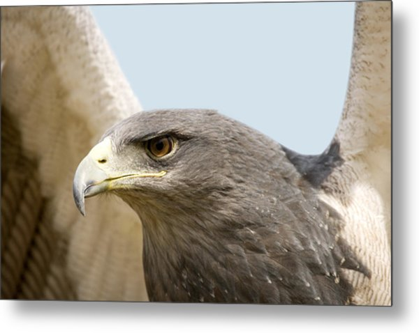 Great-chested Buzzard Eagle Metal Print