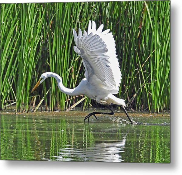 Great Egret   Ardea Alba  Running Start Metal Print