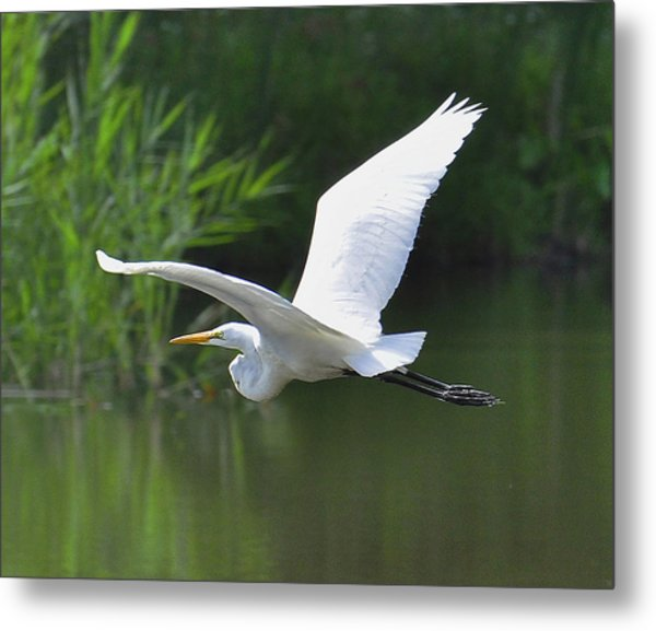 Great Egret   Metal Print