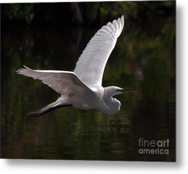 Great Egret Flying Metal Print