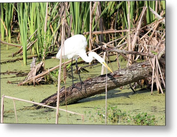 Great Egret Hunting Metal Print by Suzie Banks