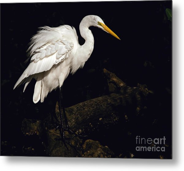 Great Egret Ruffles His Feathers Metal Print