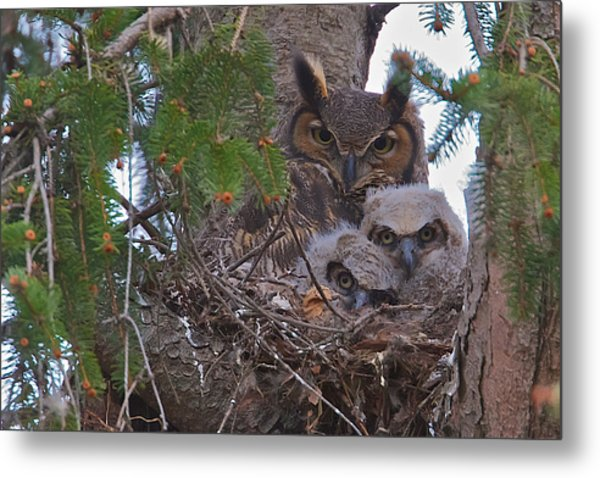 Great Horned Owl Nest Metal Print
