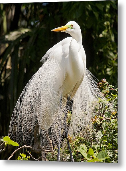 Great White Egret 2 Metal Print
