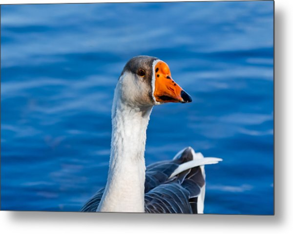 Greater White-fronted Goose Looking For A Mate Metal Print