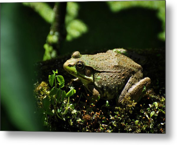 Green Frog Rana Clamitans Metal Print