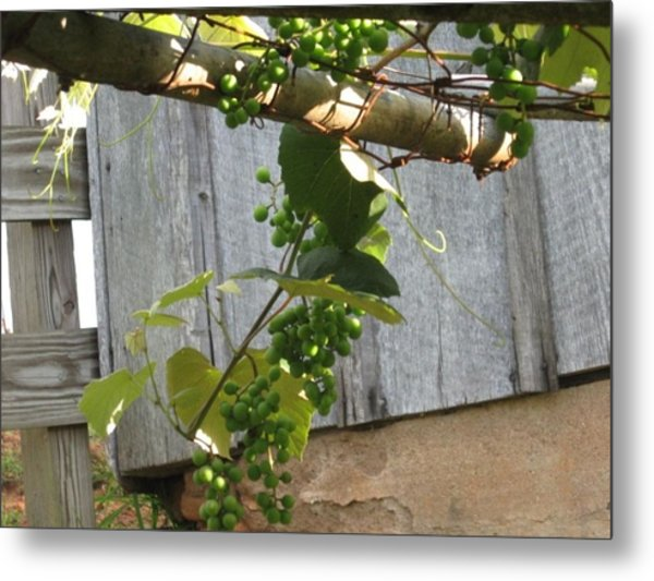 Green Grapes On Rusted Arbor Metal Print