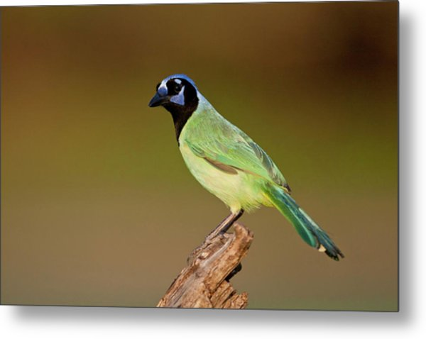 Green Jay 2 Metal Print