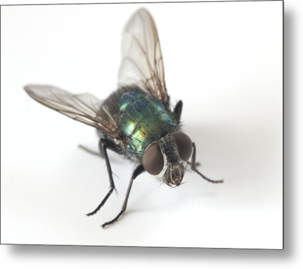 Greenbottle Fly Metal Print by Dr Jeremy Burgess