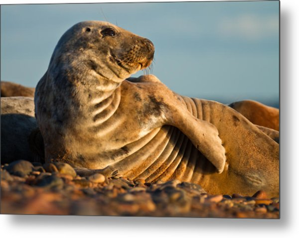 Grey Seal Halichoerus Grypus Watching Metal Print