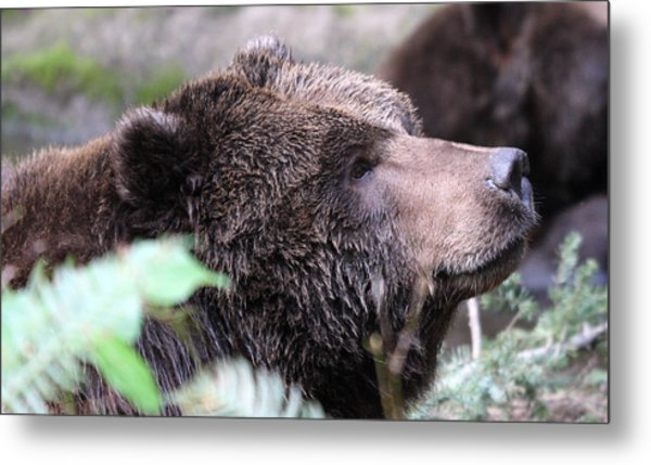 Grizzley - 0010 Metal Print by S and S Photo