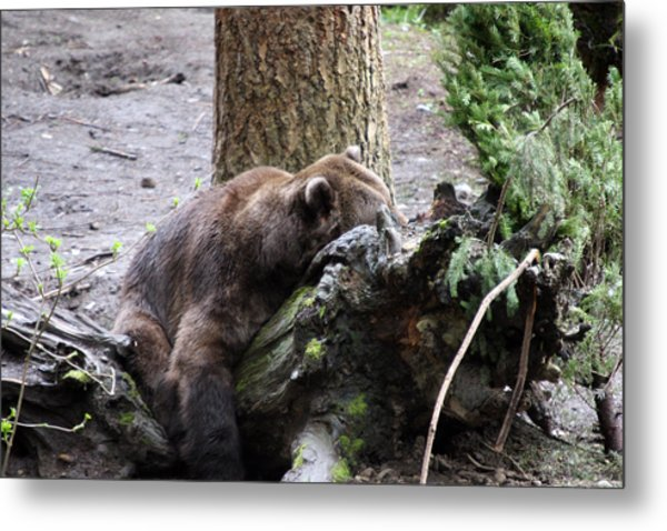 Grizzley - 0012 Metal Print by S and S Photo