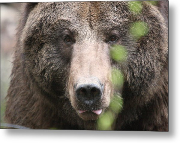 Grizzley - 0020 Metal Print by S and S Photo