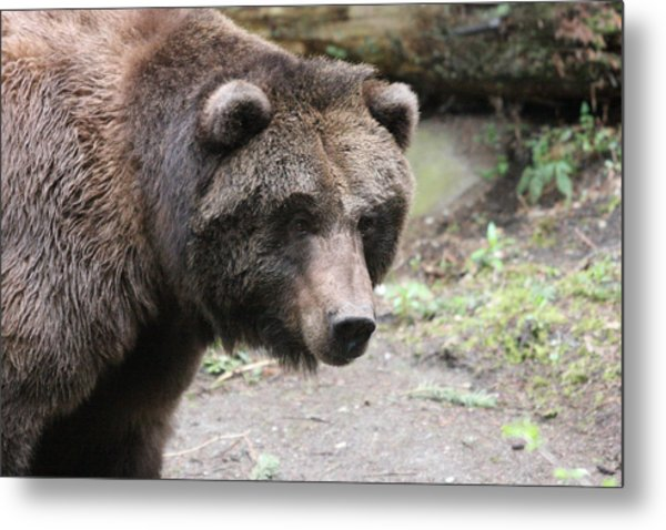 Grizzley - 0021 Metal Print by S and S Photo