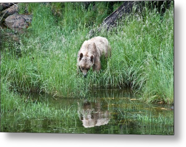 Grizzly Bear And Reflection On Prince Rupert Island Canada 2209 Metal Print