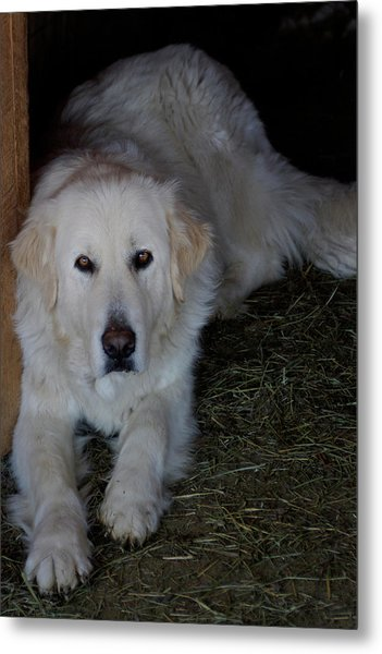 Guarding The Barn Metal Print