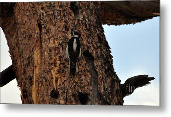 Hairy Woodpecker On Pine Tree Metal Print