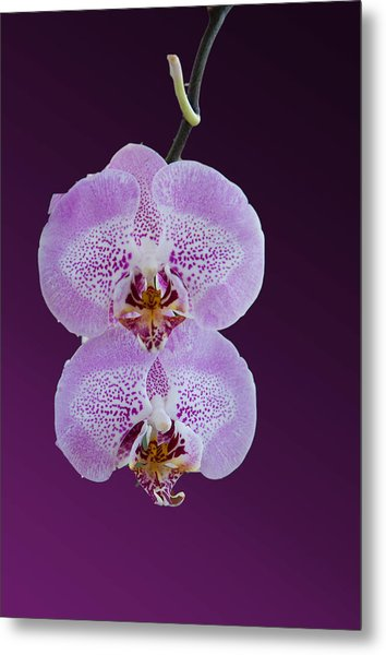 Hanging Orchids Metal Print