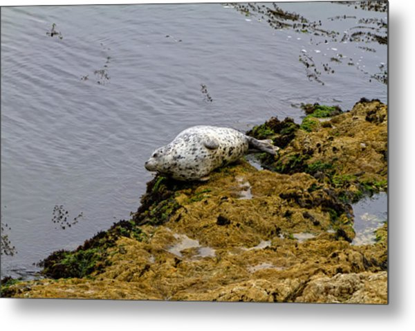 Harbor Seal Taking A Nap Metal Print