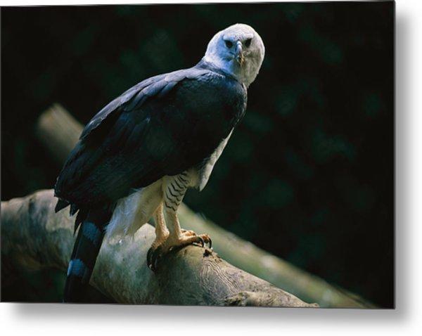 Harpy Eagle Harpia Harpyja Metal Print