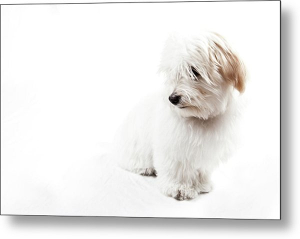 Havanese Puppy Metal Print by Daniel Pupius