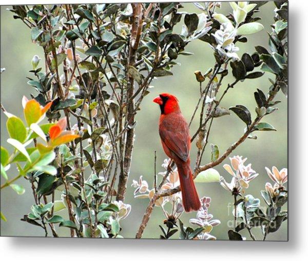Hawaiian Cardinal  Metal Print