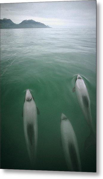Hectors Dolphin Cephalorhynchus Hectori Metal Print