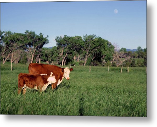 Hereford Cow And Calf Metal Print