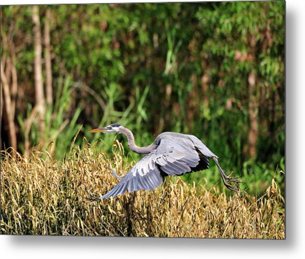 Heron Flying Along The River Bank Metal Print