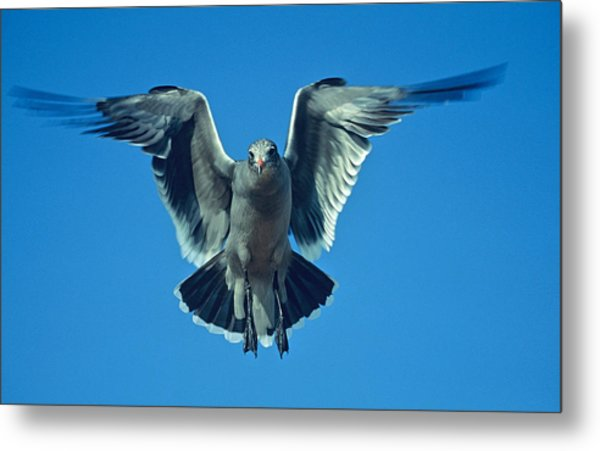 Herring Gull In Hummingbird Mode Metal Print