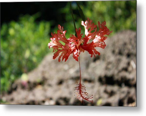 Hibiscus  Metal Print by Natalija Wortman