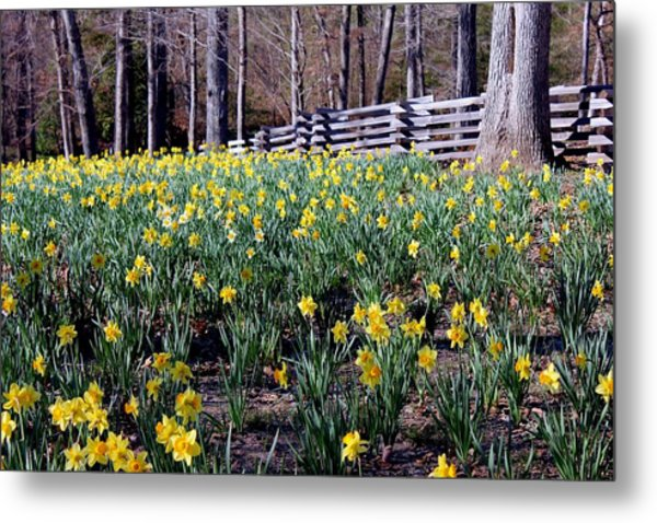 Hills Of Daffodils Metal Print