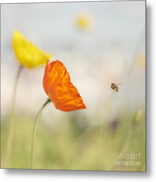 Honey Bee And Colorful Poppies Metal Print