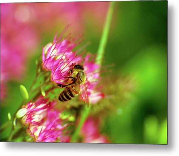 Honey Bee Lands Metal Print