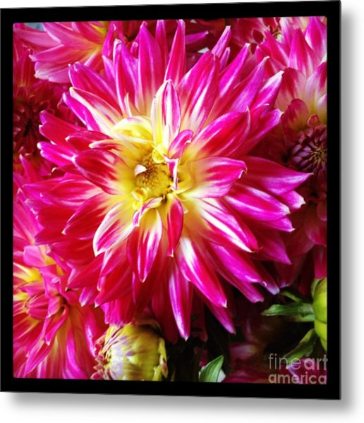 Hot Pink Dahlias Metal Print by Ruby Hummersmith