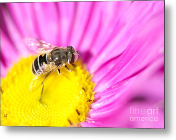 Hoverfly On Pink Aster Metal Print by Sharon Talson
